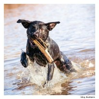 black lab in water