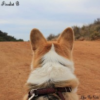 Life from your dog perspective corgi