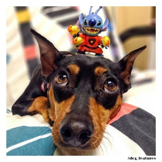 min pin Dog with toy on his head