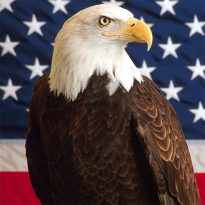 bald eagle usa